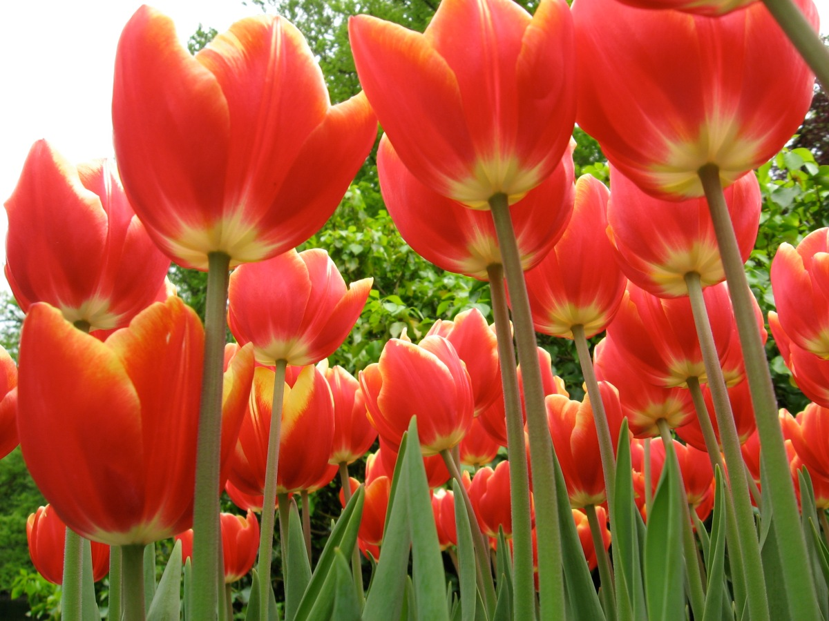 When and where in holland can you see tulips bloom for What season are tulips